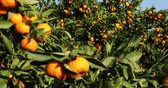 мандарин : Mandarin trees with fruits on plantation Стоковые видеозаписи