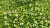 vadvirág : Blooming of dangerous toxic plant Heracleum, aerial view. Also known as Giant Hogweed or Cow Parsnip, Aerial view