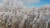 Wind shakes the snow covered Phragmites australis, close up. Grows near water. Winter time