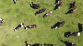 vitela : Aerial view of Herd of Cows in pasture. Slow motion, top view
