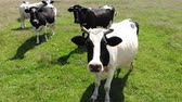 cattle breeding : Portrait of cow on pasture. Slow motion