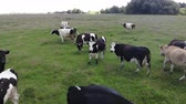 kuş sürüsü : Herd of cows in pasture, cloudy day, countryside. Slow motion Stok Video
