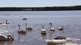 scene : spring swans on river 1080p