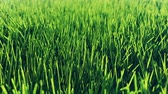 Beautiful video of morning green grass. Beautiful summer loop background.