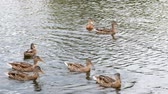patitos : Ducks on the pond, ducks with ducklings swim in the water, clean their feathers. Wild animals, beautiful ducks eat bread and Duckweed, birds swim in the pond. Slow motion.