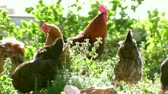 Ürdün : group of raised chickens peck for feed on the ground Stok Video