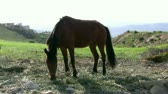 horse gait : Handsome brown horse eating grass