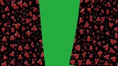vermelho : Shining red hearts curtain opening with green screen background