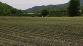 Newly planted corn field in valley farm