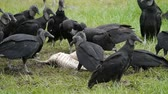 American Black Vultures feasting on roadkill