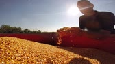 kernels : Farmer checking his corn grains and showing ok sign against the sun.HD1080p.