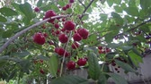 cherrytree : Ripe cherry. Beautiful ripe cherries are ready for picking Stock Footage