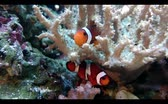 живая природа : Two Clownfish playing in water to coral, hd video Стоковые видеозаписи