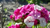 goździk : Tender white pink carnation flowers Wideo