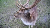 cervidae : Male Fallow Deer Buck with Antlers