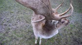 cervidae : Majestic Male Fallow Deer Buck Stock Footage