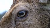 cervidae : Close-Up of the Eye of a Fallow Deer