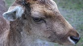 cervidae : Close-Up of the Head of a Male Fallow Deer Buck