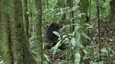 A Chimpanzee Sitting on the Ground in a Green Jungle Forest in Uganda, Africa