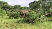 uganda : Wild Elephants Standing in the Dense Green Bush in Uganda, Africa