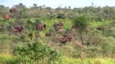 uganda : A Herd of Elephants in the Beautiful Landscape of the Green Bush in Uganda, East Africa