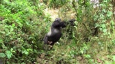 simio : Large, Impressive Male Silverback Gorilla Stretching in the Green Jungle of Bwindi Impenetrable Forest in Uganda, East Africa
