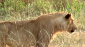 uganda : Female Lioness Stalking in Yellow and Green Grassland in Uganda Stock Footage