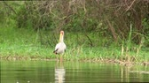 uganda : A Beautiful Yellow- Billed Stork Wading in the Water of a River in the Wilderness of Uganda, East Africa. Stock Footage