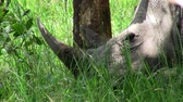 uganda : A Large Grey Rhinoceros or Rhino Resting on the Ground in the Green Grass in Uganda