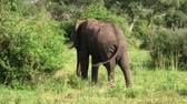 uganda : A Large Grey Elephant with Ivory Tusks from Behind in the Green Vegetation of the Bush in Uganda Stock Footage