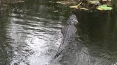 crocodilo : Alligator Swimming Away in the Dark Swamp Waters of the Everglades Marshland in Florida, United States. A Reptile in its wild habitat.