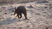 orelhas : Aardvark or Ant-Eater Walking Away in Sandy Savanna in Namibia, Africa, From Behind Stock Footage