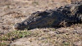 nílus : Big, Fierce Nile Crocodile Lying on the Ground, Sun Bathing and Resting on the Bank of the River in Chobe National Park, Botswana, Africa