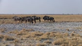 wildebeest : Herd of Blue Wildebeest Grazing and Walking on the Grass Plain of the Sowa Pan, Makgadikgadi Salt Pans, Botswana