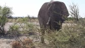 fildişi : Impressive Elephant Bull Close Up in the Bush in Etosha National Park, Namibia, Africa Stok Video