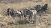 game reserve : Four Zebras Standing in Dry Grass in the Sowa Pan, Makgadikgadi Pans National Park, Botswana, Africa Stock Footage