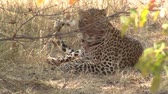 пантеры : Leopard with Bloody Snout Lying on the Ground in Chobe National Park, Botswana