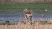 game reserve : One Single Red Lechwe Antelope in the Swamp in Moremi Game Reserve, Okavango Delta, Botswana, Africa Stock Footage