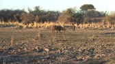 bivaly : Cape Buffalo Walking at the Riverside of the Okavango River in Namibia