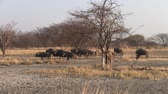 wildebeest : Large Herd of Wildebeest in Dry Savanna Landscape, Makgadikgadi Pan National Park, Botswana, Africa Stock Footage