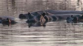 amphibious : Group of Hippos in the Water in a Pond, Makgadikgadi National Park, Botswana, Africa