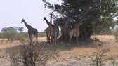 Group or Family of Giraffes in the Shadow aof a Tree, Moremi Game Reserve, Okavango Delta, Botswana, Africa