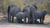 african wildlife : Elephant Breeding Herd in the Shade of a Tree in Moremi Game Reserve, Okavango Delta, Botswana, Africa