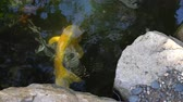 jardim formal : 4K Koi fish swimming