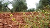 grown : Olive trees plantation. The camera moves slowly between the olive trees, Jaen, Spain