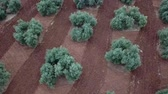 koru : Air view field of olive trees near Jaen, Spain