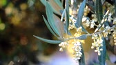 делитель : Olive branches in bloom about to leave in spring, movement of soft chamber