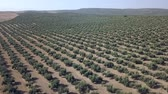 Aerial footage over an Olive plantation in Jaen, Spain