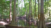 cipreste : cypress forest and swamp of Congaree National Park in South Carolina