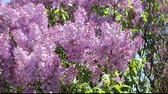 lilás : lilac blooms blowing in the breeze